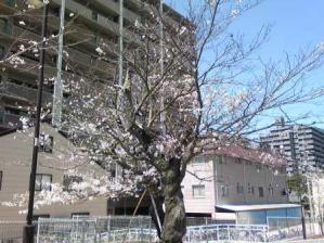 阿賀駅前桜1