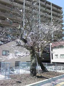 阿賀駅前桜2