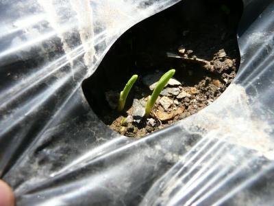 トウモロコシの芽?