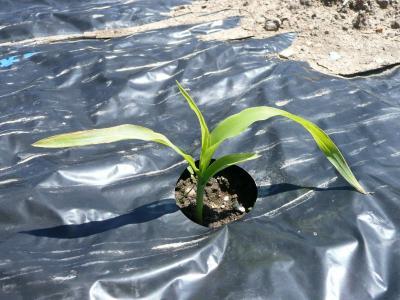 トウモロコシの芽