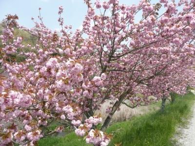 猪名川八重桜