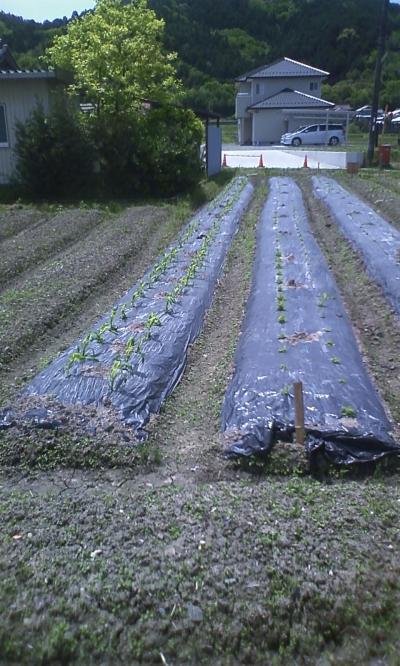 5月15日トウモロコシ畑