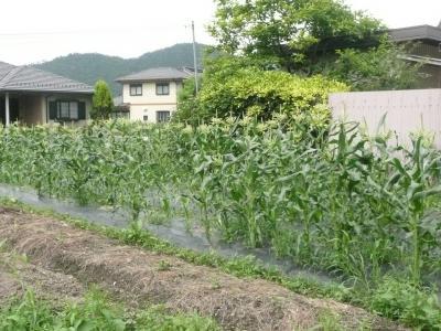 6月21日トウモロコシ畑