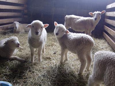 赤ちゃん羊2