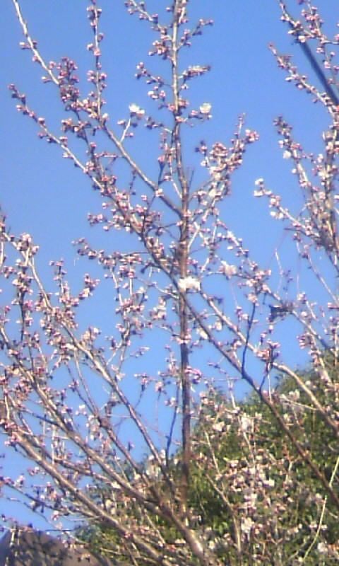 110309_082740サブ桜