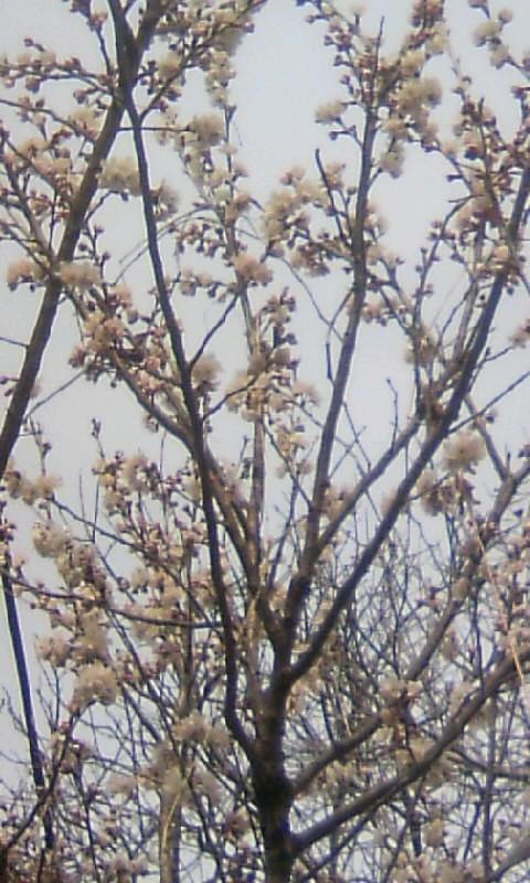 110312_105606サブ桜