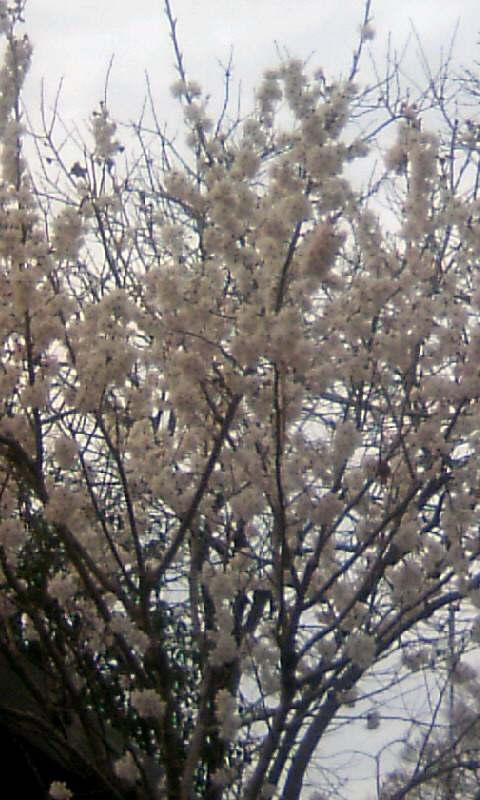 110314_164802サブ桜
