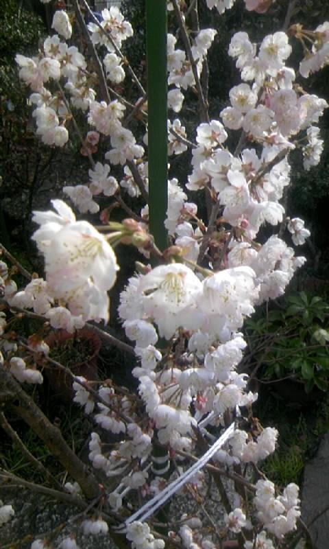 110316_085453サクランボの花