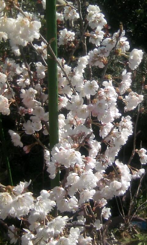 110319_095312サクランボの花