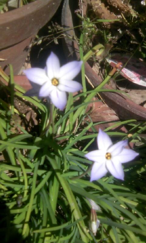 110323_111440花ニラ
