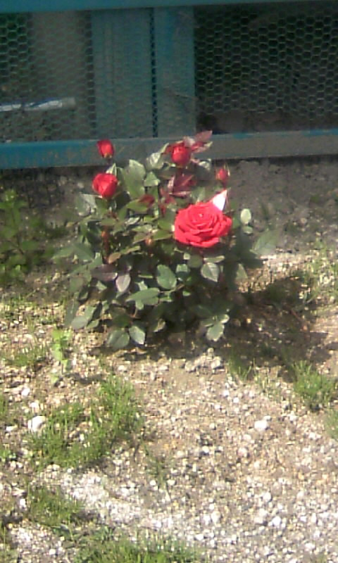 110323_121922ミニ薔薇