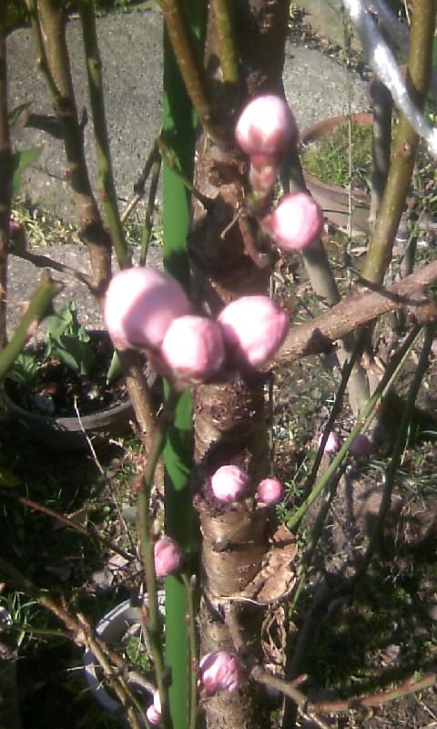 110326_085218花桃の蕾