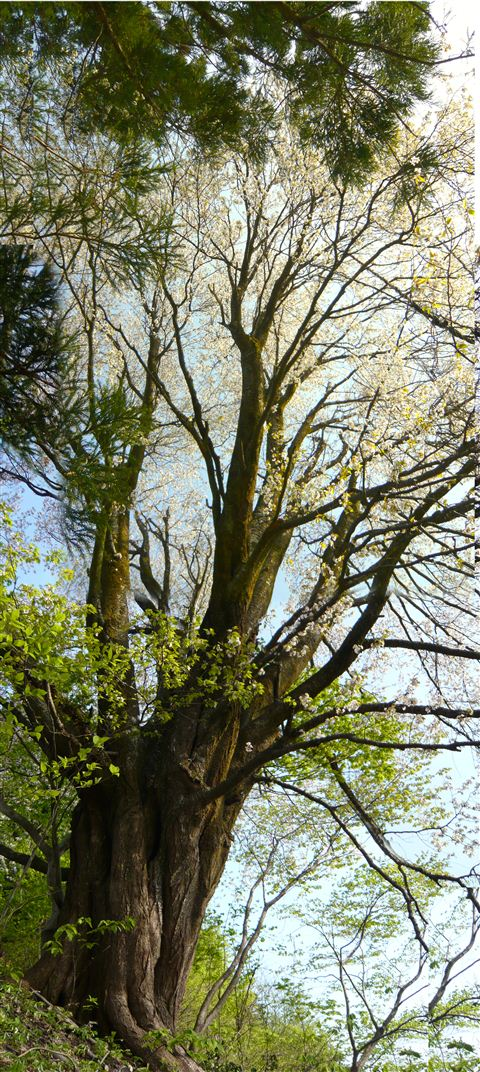 桜の巨木_R