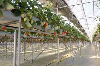 strawberry005.jpg