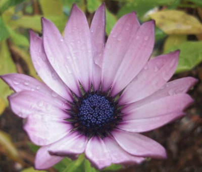 お庭の花アップ