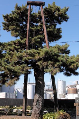残る松の木
