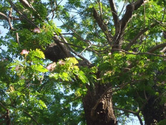 Giant tree 3