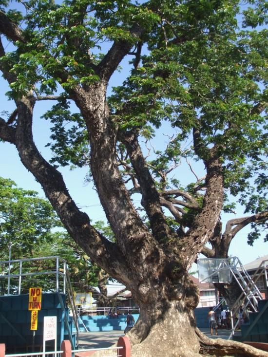 Giant tree 1