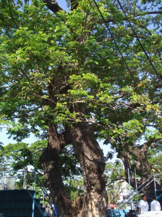 Giant tree 4