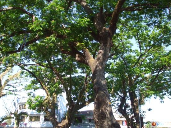 giant tree 7
