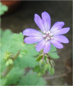 geranium ispata