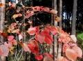 シラキの紅葉