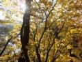 タカノツメの黄葉