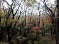 日影森の淡い紅葉