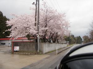 20110429_murakamisakura.jpg