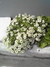 白花jpg