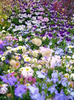 花の畑.jpg