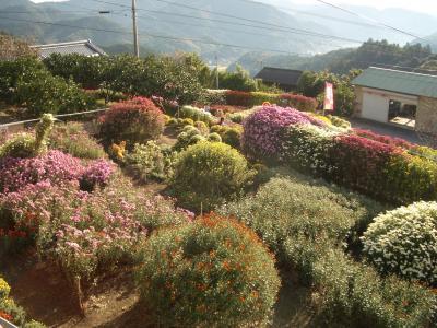 1106菊花園2