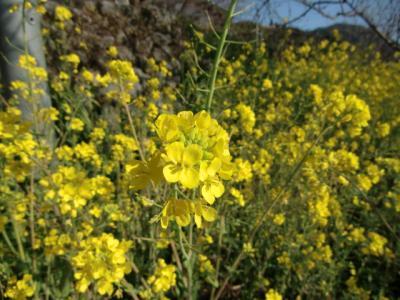 菜の花0221