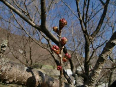 雪割桜0221