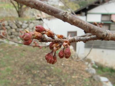 雪割桜0223