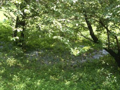 雪割桜の浸水2