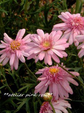 30八重咲きピンクマーガレット