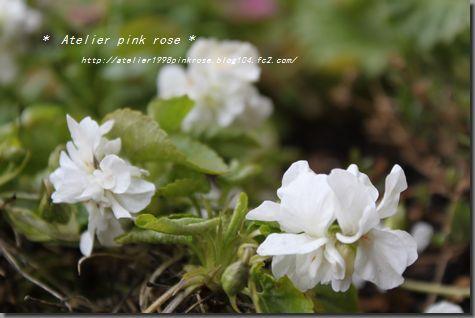 3・24白の匂いスミレ