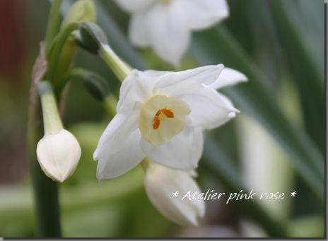 3.27白の水仙