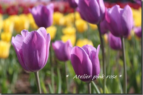 4.5紫のチューリップ