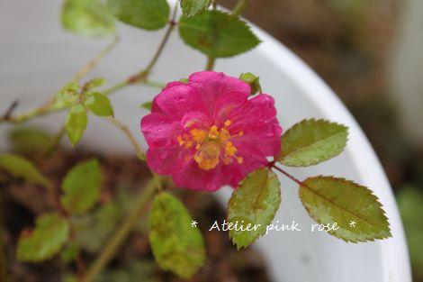 6.27挿し木の薔薇