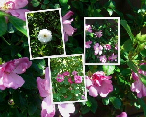 藤田さんのバラ