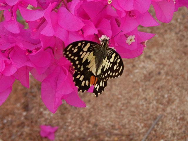 4:25ChequeredSwallowtail