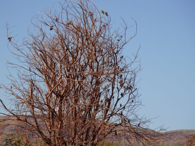 5:1キンカチョウ群れ木
