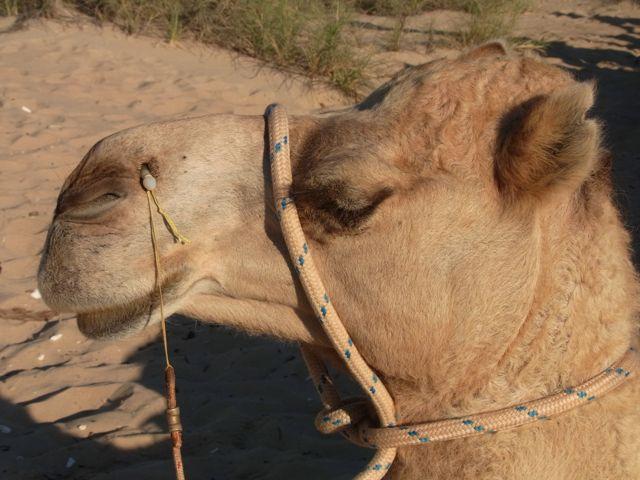 5:3ブルーム駱駝ランディー