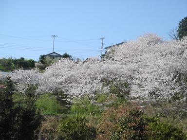 sakura.nakada 001a