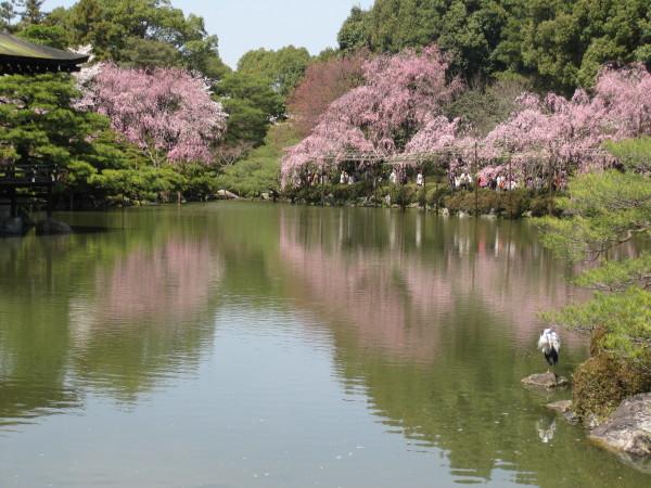 水面に映る桜2