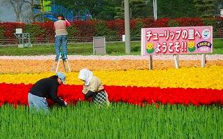 チューリップの花摘み風景