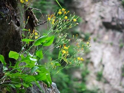 岩間に咲くお花