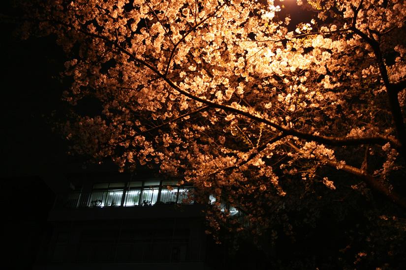 IMG_0918-sakura.jpg